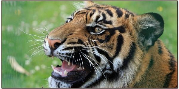 tiger-165039_1280